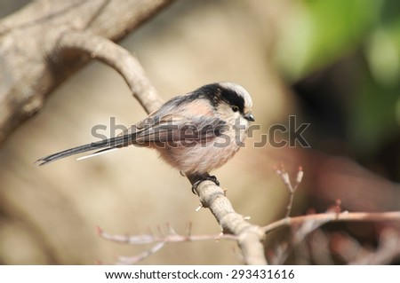 Long-tailed Tit of perch