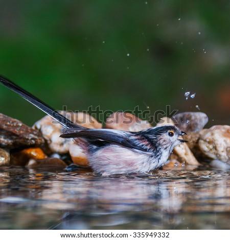 Long-tailed tit taking a bath in a birdbath - stock photo