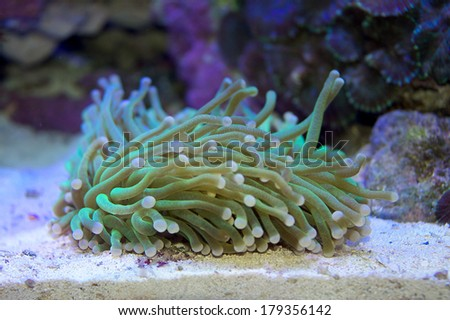 Long tentacle disk coral, Heliofungia actiniformis - stock photo