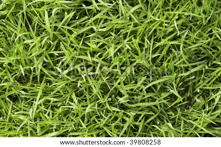 long uncut green fresh grass with drops of water - stock photo