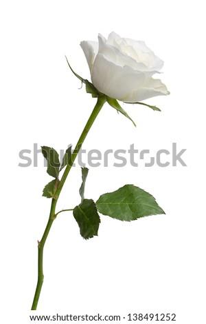long white rose isolated on white background - stock photo