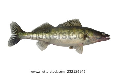 long zander on white background - stock photo