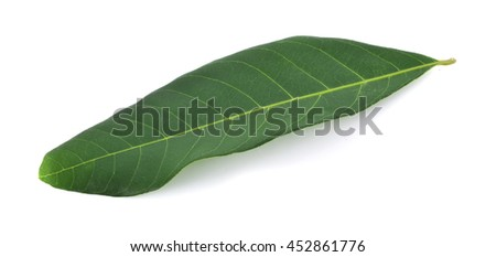 longan leaves isolated on white background.