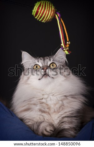 Longhair cat playing with toy - stock photo