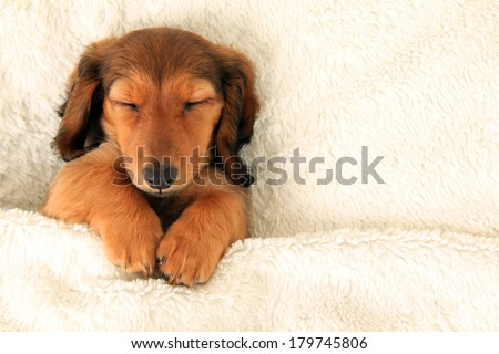 Longhair dachshund puppy asleep on a bed.  - stock photo