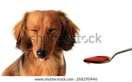 Longhair dachshund puppy frowning at medicine in a spoon.  - stock photo