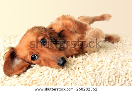 Longhair dachshund puppy lying down on the carpet.  - stock photo