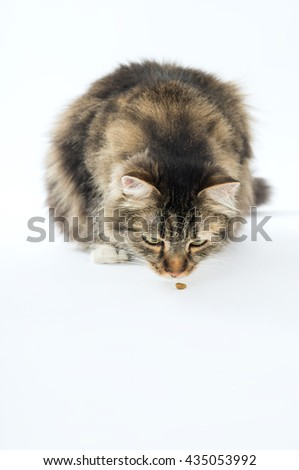 Longhaired a cat eating food on a white background - stock photo