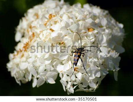 longhorn beetle climbing on hortensia blossom - stock photo