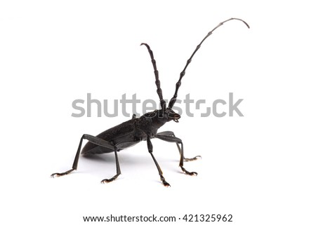 Longhorn beetle isolated on white background - stock photo