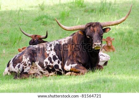 Longhorn bull resting in field - stock photo
