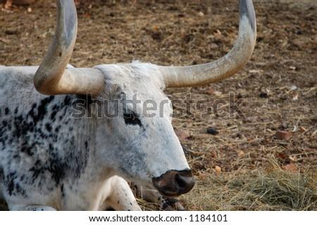 Longhorn Cattle - stock photo
