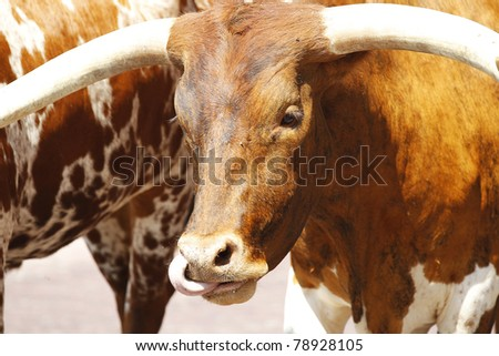 Longhorn cattle are walked on a Texas street - stock photo