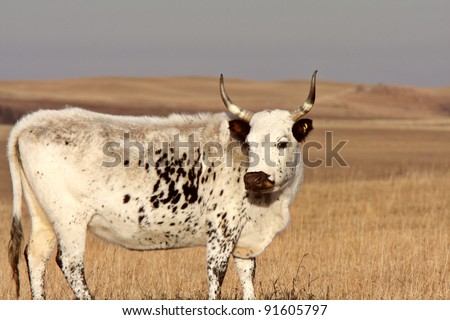 Longhorn steer in Saskatchewan pasture - stock photo