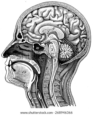 Longitudinal section of the human head, vintage engraved illustration. La Vie dans la nature, 1890. - stock photo