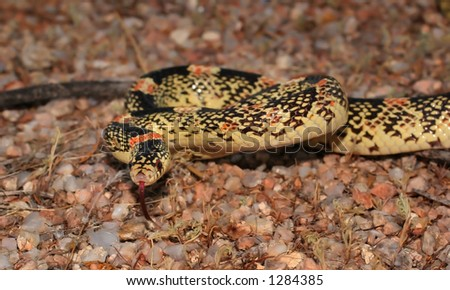 Longnose snake head and front quarter - stock photo