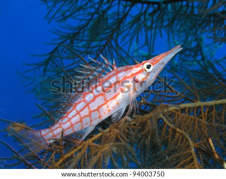 longnosed Hawkfish Oxycirrhites typus - stock photo