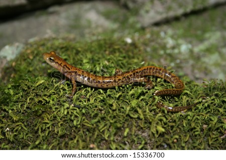 Longtail Salamander (Eurycea longicauda) - stock photo