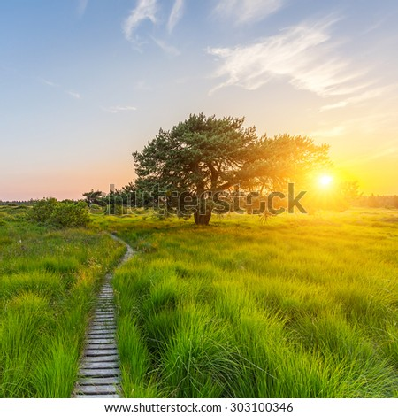 lonley pine tree at sunset in a bog landscape at the Hautes Fagnes - stock photo
