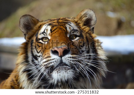 Look in the eyes of tiger - young adult Bengal tiger male full face portrait with rocks and snow behind - stock photo