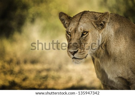 look of a lioness