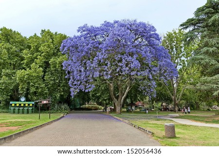 Look of walk of Johannesburg zoo with jacaranda blossom tree, South Africa - stock photo