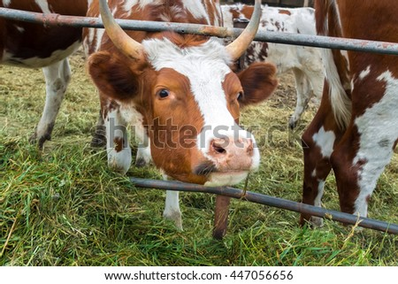 Look the cow in paddock on the farm. A pastoral picture on the cattle country. Animals on pasture. A herd of colorful cows to the ranch. Good cute ruminants even-toed ungulates.