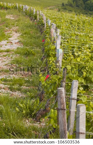 Looking along a line of grape vines near to Beaune, Burgundy.