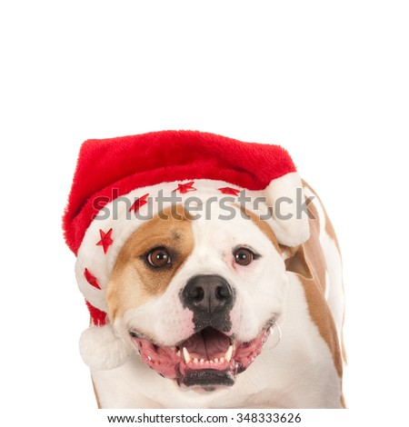 Looking American bull dog wearing a santa hat and looking at camera.  Portrayed against a white background.