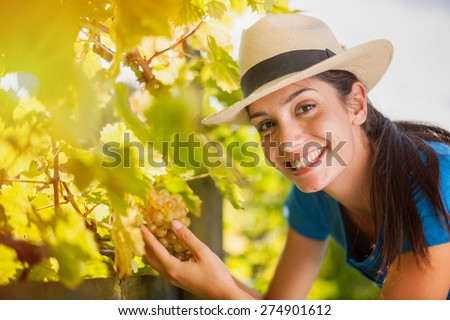Looking at camera beautiful young woman harvesting the grapes in the vineyards by a sunny day - stock photo