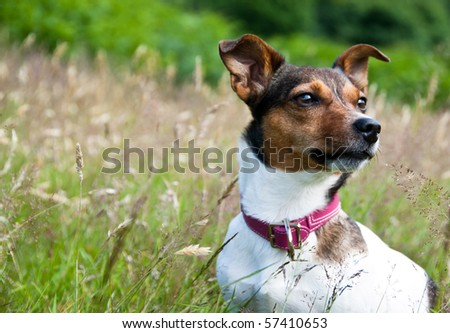 Looking Away- Jack Russel Terrier Sitting Calmly in High Grass and Staring - stock photo