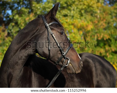 Looking back thoroughbred horse portrait