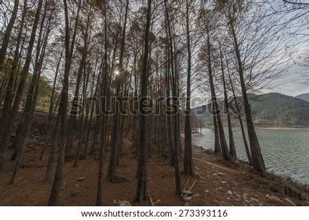 Looking cedar forest - stock photo
