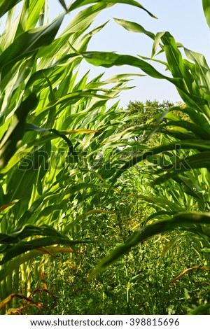Looking down a row of fresh corn plants, without ears, from a low angle - stock photo