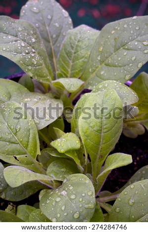 Looking down at young night blooming jasmine aztec tobacco plants after a rain. - stock photo