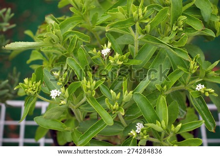 Looking down on Stevia plant in bloom with small white flowers  in garden. Also known as Sweet Leaf. - stock photo