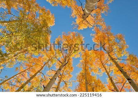looking skyward in colorado aspen grove in autumn - stock photo