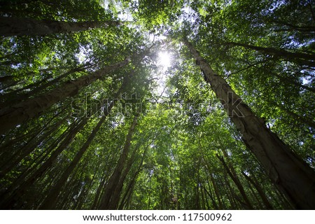 Looking skyward to tree tops - stock photo