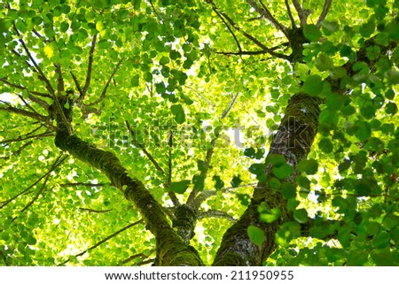 Looking up at a canopy of green leaves in the French countryside. & Looking Canopy Green Leaves French Countryside Stock Photo ...