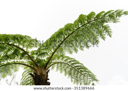 Looking up at canopy of lepifera tree fern in tropical forest - stock photo