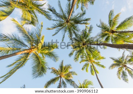 Looking up at coconut palm trees  - stock photo