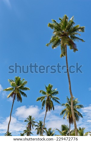 Looking Up at Tall Palm Trees Against Blue Sky - stock photo