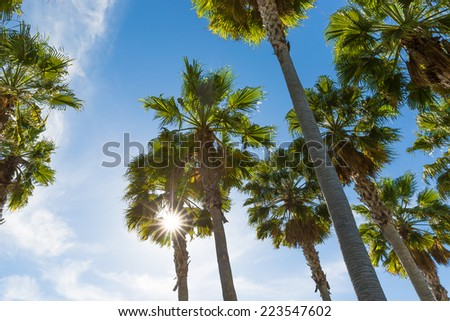 Looking up at tall palm trees against blue sky with sun flare and sunburst through green fronds - stock photo