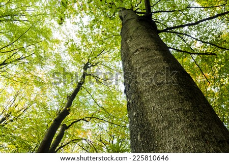 Looking up at the sunlight in a Beech Tree Forest in Autumn time.North Poland/Tree canopy in autumn - stock photo