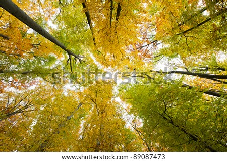 Looking up in a beech tree forest in autumn. Low angle shot. - stock photo