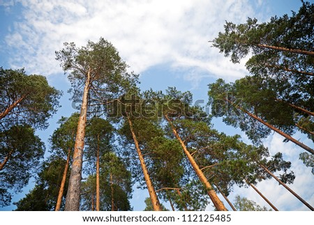 Looking up in the pine tree forest