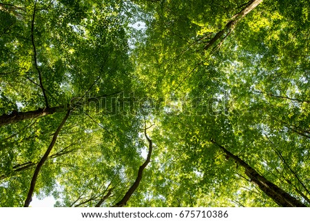 Looking Up Into The Canopy Of Trees In Forest Nature Background