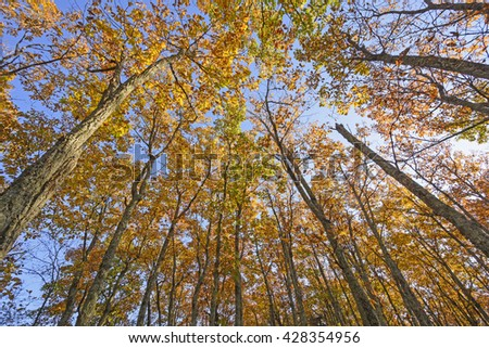 Looking up into the Fall Canopy along the Blue Ridge Parkway in Virginia - stock photo