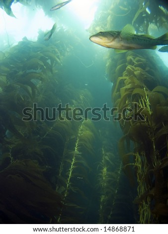 Looking up into the Kelp at a Sea Bass in Catalina - stock photo