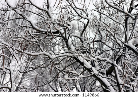 Looking up into the snow covered trees tells us winter has not left - stock photo